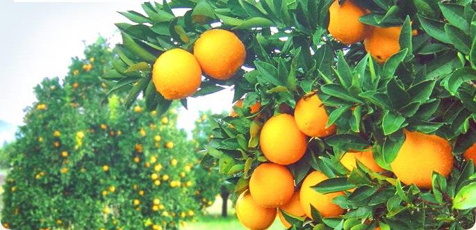 Kilosunu 50 Kuruşa Satamadığı Portakalı Ücretsiz Dağıtıyor