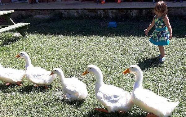 Engelli Öğrencilerin Ördeklerini Çaldılar