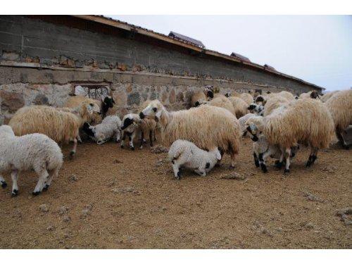 Koyun Ve Kuzuların Buluşması