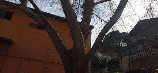 Valilik, Çınar Ağacının Kesimini Durdurdu