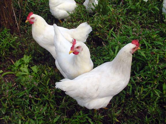 Çanakkale'de Salma Tavukçuluk Yapmak İsteyenlere Fırsat