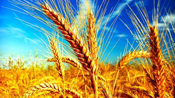 Buğday fiyatı 6 ayda yüzde 29 yükseldi