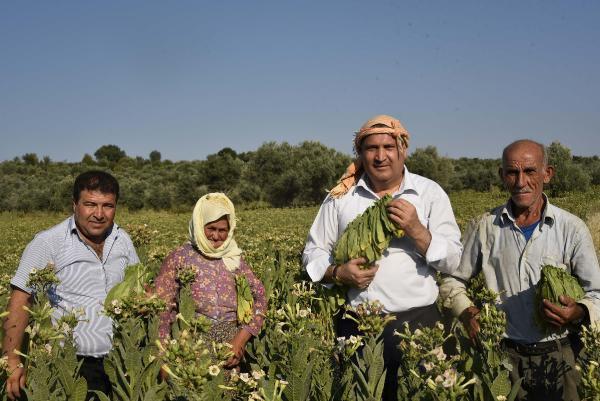 Çiftçinin Tütün Tarlasındaki Zorlu Mesaisi