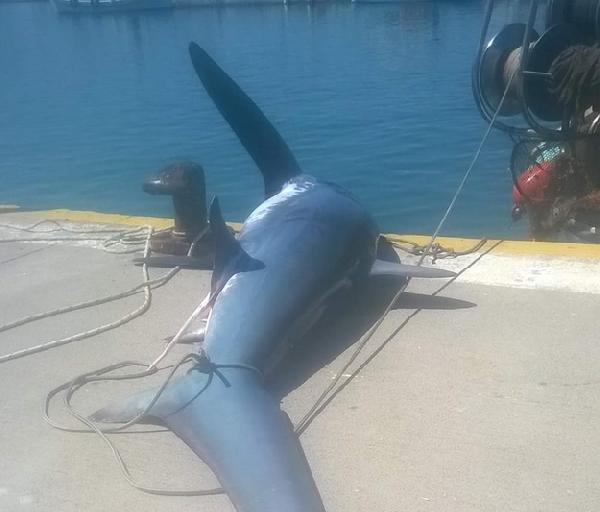 Balıkçı Ağına, 200 Kiloluk Beyaz Köpekbalığı Takıldı