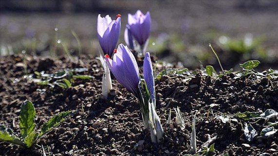 'Mucize bitki'nin hasadı başladı
