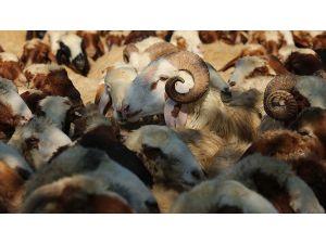 Koyun Keçi Yetiştiricilerine Destek Başvurusu İçin İkinci Şans