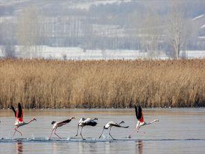 Van Gölü'nün Sibirya'dan Misafirleri Var