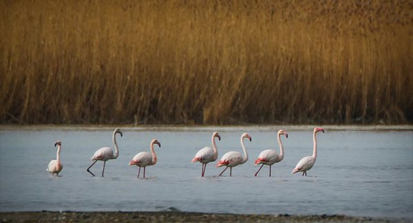 Van Gölü Kuğu ve Flamingoları Misafir Ediyor