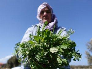Ege Turizmine 'Şifalı Bitki' Katkısı
