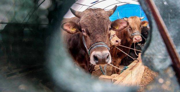 Canlı Hayvan İthalatı Yüzde 63 Azaldı