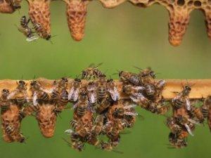 Arılar tarım işçilerine saldırdı, çok sayıda yaralı var.