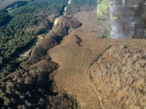 Tırtıllar Ormanı talan etti..