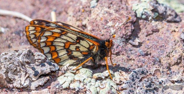 Bu Kelebek 12 Bin Yaşında ve Ağrı Dağı'nda Görüntülendi