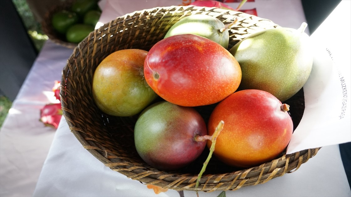 Çiftçinin yeni gözdesi: Mango -Tanesi 50 liraya satılıyor