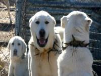'En İyi Sürü Bekçi Köpeği' İçin 6 Ay Sıra Bekliyorlar