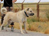 İtalyanlar Kurt Saldırılarına Karşı Kangal Köpeği İstiyor