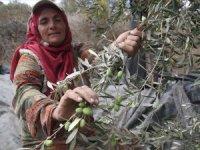 Batı Şeria'da Zeytin Hasadı ve Yahudi Yerleşimci Sorunu
