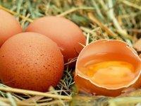 'Kanser İlacı Yumurtlayan' Tavuklar Yetiştirildi