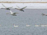 Van Gölü'nün 'Asil' Ziyaretçileri Geldi