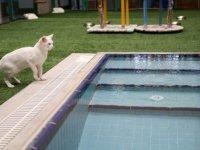 Van Kedileri Havuzda Serinleyecek