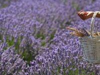 Kokusu ve Rengiyle Büyüleyen Lavantanın Yağı da Çok Kıymetli