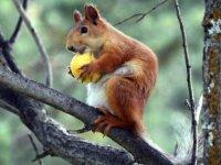 Kayısı Yiyen Sincaplar Renkli Görüntüler Oluşturdu