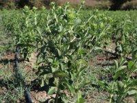 Stevia Bitkisi Yeni Gelir Kapısı Olacak