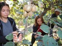 Türkiye'de kivi üretimi artıyor