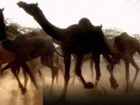 Avustralya 10 bin deveyi 'su tüketiyorlar' diyerek öldürmüştü! Başlarına bir felaket daha geldi