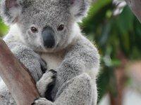 Avustralya'daki koalalar bu kez kereste için öldürüldü!