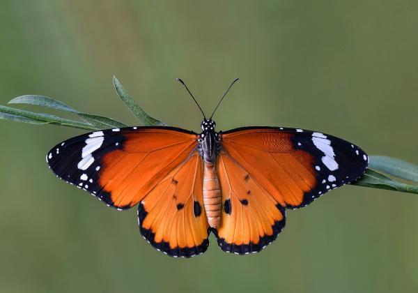Mersin'in Kelebeklerini Fotoğrafladılar