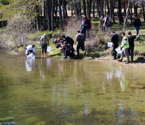 Abant Gölü'ne 51 Bin Abant Alası Bırakıldı